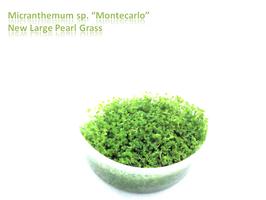 Micranthemum Monte Carlo / Monte Carlo Perlkraut