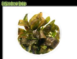 Echinodorus 'rubin' Stück