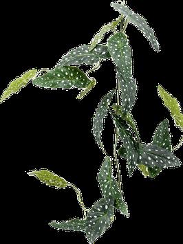 Spikkel hangplant