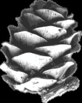 Tannenzapfen