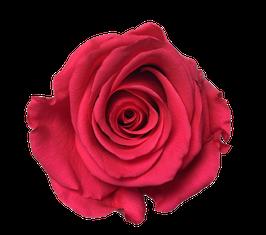 ROSE ROSE STABILISÉE