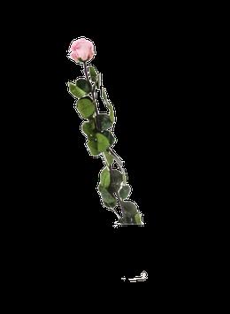 ROSE SUR TIGE STABILISÉE VRAC L - BOÎTE DE 1 - ROSE CLAIR