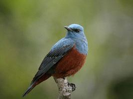 Monticole merle-bleu [Monticola solitarius]