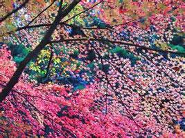 ピンクがかった紅葉