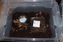 4-5cm hoch feuchte Kokoserde, Springschwänze, Fischfutter und/oder Champignon dazu, Deckel drauf und fertig ist die Springschwanzzucht.
