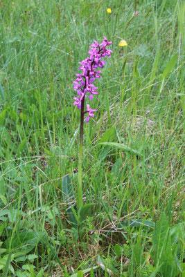 Männliches Knabenkraut, auch Stattliches Knabenkraut genannt - Orchis mascula  - auf einer Talwiese des Moosalbtals in Nähe Schneebachtal (G. Franke; Mai 2014)