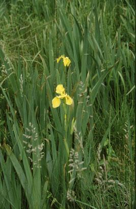 Iris pseudacorus (Gelbe Schwertlilie) bei Ittersbach (Foto: G. Franke, 2008)