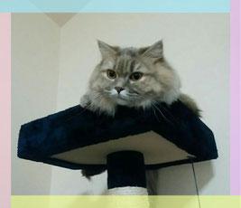 マンチカン猫