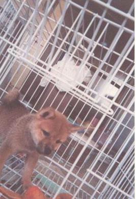 池田家で家族同然に育った柴犬文太 生まれてすぐです