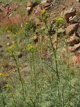 La Rue nourricière de la larve : Haplophyllus tuberculatum au Djebel Akdal (Anti-Atlas sud-occidental).