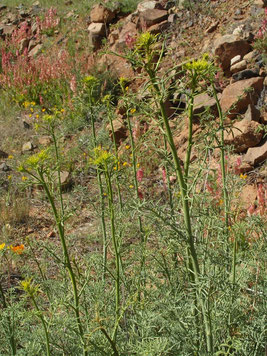 La Rue nourricière de la larve : Ruta graveolens au Djebel Akdal (Anti-Atlas sud-occidental).