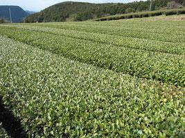 鹿児島茶畑、べにふうき