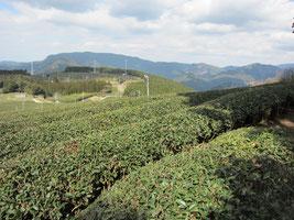 鹿児島鹿屋茶畑、べにふうき