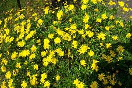 Euryops chrysanthemoides
