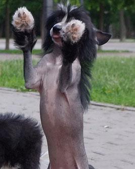 купить щенка китайской хохлатой собачки в питомнике