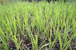 苗床で健やかに育つ苗