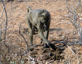 Baboon checking elephant dung for seeds