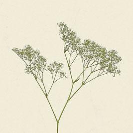 Pflanze (#7), Pigmentdruck auf Hahnemühle Photo Rag 308 g/m²