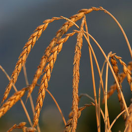 Was ist Mehl? Mehl Herstellung Getreide Sorten Weizen Hafer Gerste Mehl Rohstoff backen Warenkunde