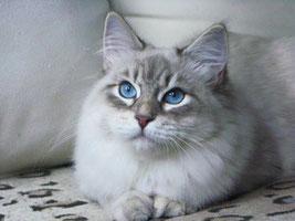 Neva maquerade, siberien, yeux bleu