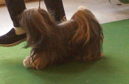 BOB Lhasa Apso Ani Lochen of Little Oaks Peissen 2015