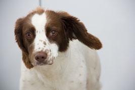 La t^te d'un chien springer blanc tacheté marron par coach canin 16 educateur canin a domicile angouleme