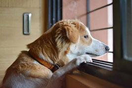 Un chien sans race blanc et marron clair regarde par la fenêtre ses deux pattes avant posées sur le rebord de la fenêtre par coach canin 16 educateur canin à domicile charente