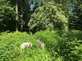 Als wir in die Holunderblüten gingen (Yukon und Eagle)