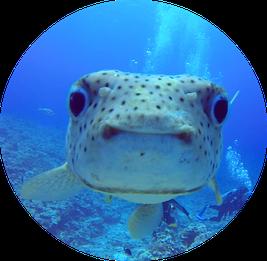 Friendly porcupinefsh look into my camera in Bora Bora Diving