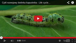 film - cykl rozwojowy motyla
