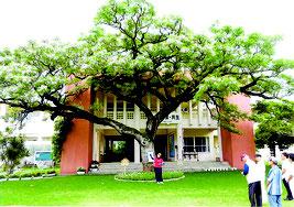 樹齢115年のセンダンの木の前で「センダンの花」を歌う来間さん、とセンダン花の会実行委員ら=15日、西表島、西表小中学校校庭