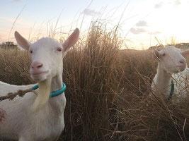 石垣市山羊生産組合が17日に設立する=市内宮良のヤギ牧場のヤギ(資料写真)