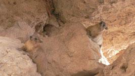 """""""высокие горы - сернам; каменные утесы - убежище зайцам.""""(Псалом 103:18), далман"""