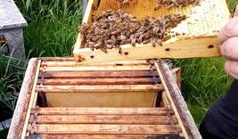 #Bienen #Königinnenflugling