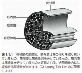 骨格筋の筋膜図