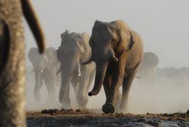 durstige Elefanten