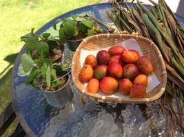 夏の味覚 ①ミニマンゴー