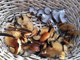 Pilzkorb mit Samtfußrüblingen und Austernseitlingen, typischen Winterpilzen
