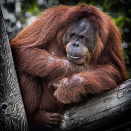 Orang Utan Palmöl Gefährdung Healthlove Kosmetika Alternativen