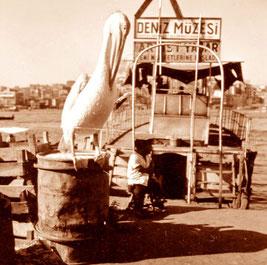 ein mächtiger Pelikan gehörte zu diesem Fischerstand