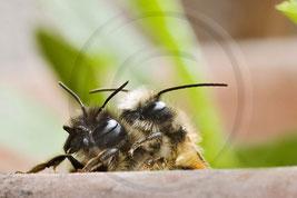 Mauerbien Paarung Solitäre Wildbiene