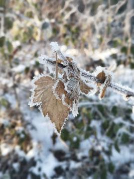 Eiskristallrand an Blättern