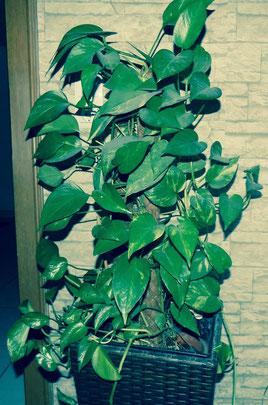 Die panaschierten Blätter des Baumfreundes glänzen gesund. In dem hohen Topf fühlt sich die Pflanze trotz Fußbodenheizung wohl.