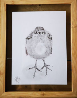 6. Robin...Pencel drawing 3 Potlood tekening ingelijst tussen twee glasplaten.