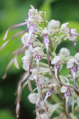 Bocks-Riemenzunge - Himantoglossum hircinum (G. Franke, Mai 2011)
