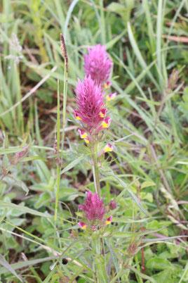 Acker-Wachtelweizen - Melampyrum arvense (G. Franke, Mai 2011)