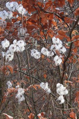 Gewöhnliche Waldrebe - Clematis vitalba; in der Sonne leuchtend weiße Fruchtstände kurz vor der Hasenklamm (G. Franke)