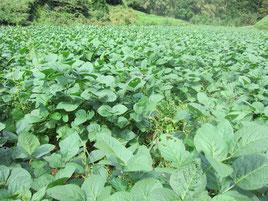 黒豆畑、無農薬