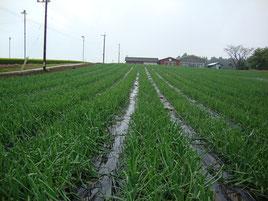北海道たまねぎ畑、士別