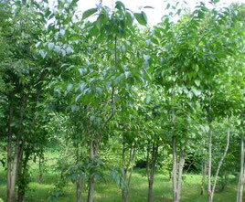 杜仲茶畑、福岡県産